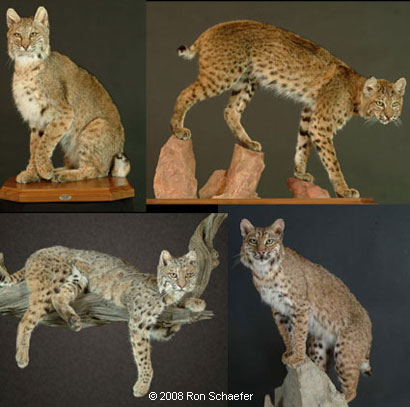 Big game taxidermy services showing a variety of Bobcat poses