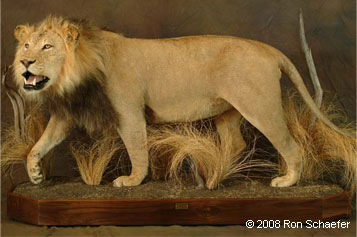 Lifesize taxidermied lion in wildlife habitat
