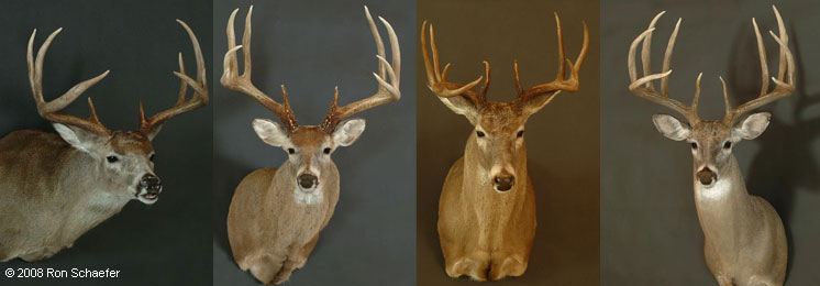 Taxidermy services of different big game deer mounts from the USA, Mexico and Canada