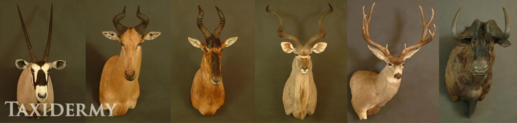 big game african and european taxidermy shoulder mount services