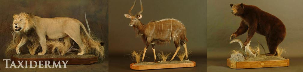 big game animal taxidermy services from north america include lions, bears, and antelopes