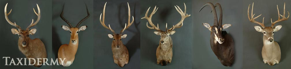 taxidermy shoulder mounts of african and north american animals