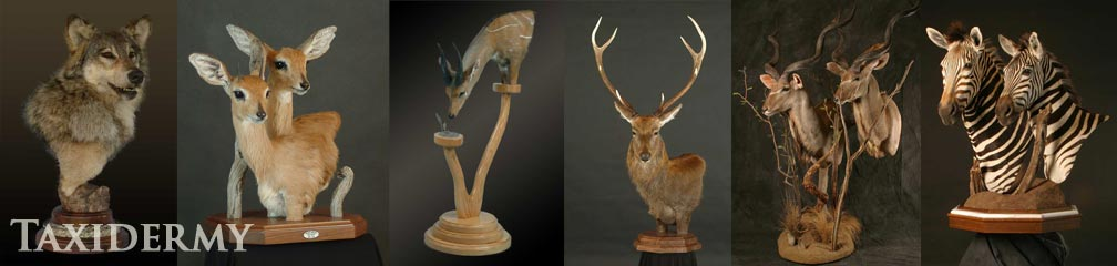 large animal taxidermy services - pedestal mounts