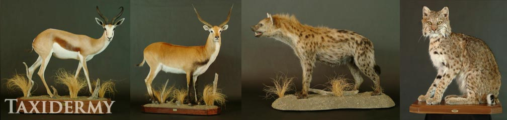 big game taxidermy services of african, european and north american animals