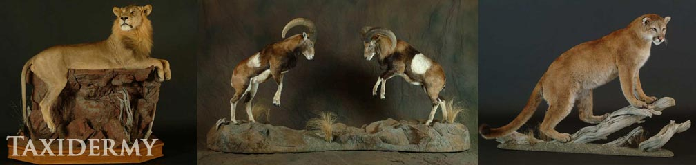 pedestal and life size mounts taxidermy can include faux boulders