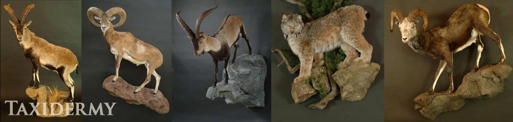 big game life size animal taxidermy, lions, cougars, mountain lions, and more