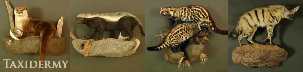 natural behavior and poses for exotic animal taxidermy