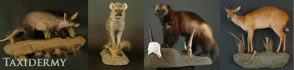 exotic animal taxidermy of ant eaters, hyenas, duikers, and wolverine