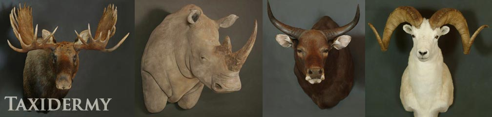 big game taxidermy of rhinos, north american moose taxidermy, and bantang exotic european taxidermy