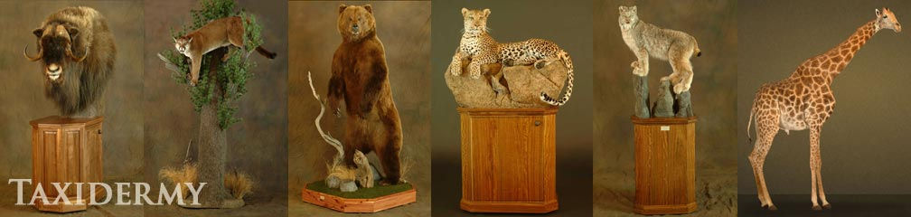 giraffe, leopards, bear large animal taxidermy services