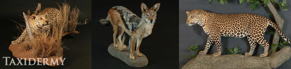 texas taxidermy services of african animals leopards and coyotes