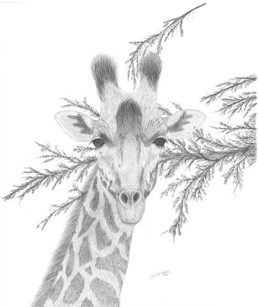 Image De Art Deer And Drawing: Wildlife Drawings For Sale Photo Gallery By Ron Schaefer