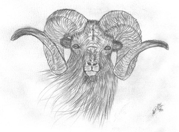 wildlife drawings for sale photo gallery by ron schaefer