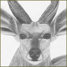 Bushbuck Wildlife Drawing For Sale