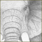 Elephant Wildlife Drawing For Sale