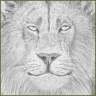 African Lion Wildlife Drawing For Sale