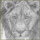 Lion Pride Wildlife Drawing For Sale