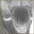 Ox Wildlife Drawing For Sale