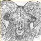 Ram Wildlife Drawing For Sale