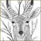 Reedbuck Wildlife Drawing For Sale