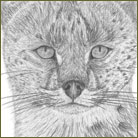Serval Wildlife Drawing For Sale