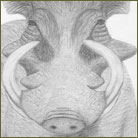Warthog Wildlife Drawing For Sale