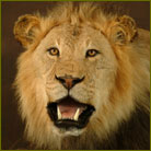 African Lion #2 Life Size Mount