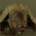 Cape Buffalo Life Size Mount