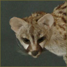 Genet Cat Life Size Mount
