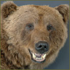 Grizzly Bear Life Size Mount