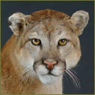 Mountain Lion #2 Life Size Mount
