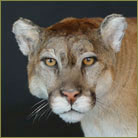 Mountain Lion #3 Life Size Mount