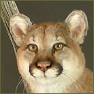 Mountain Lion #4 Life Size Mount