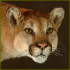 Mountain Lion #5 Life Size Mount