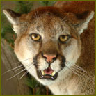 Mountain Lion #6 Life Size Mount