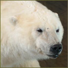 Polar Bear #2 Life Size Mount