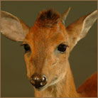 Red Duiker #2 Life Size Mount