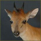 Red Duiker #3 Life Size Mount