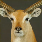 Red Lechwe Life Size Mount
