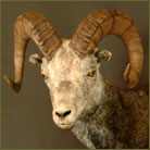 Stone Sheep Life Size Mount