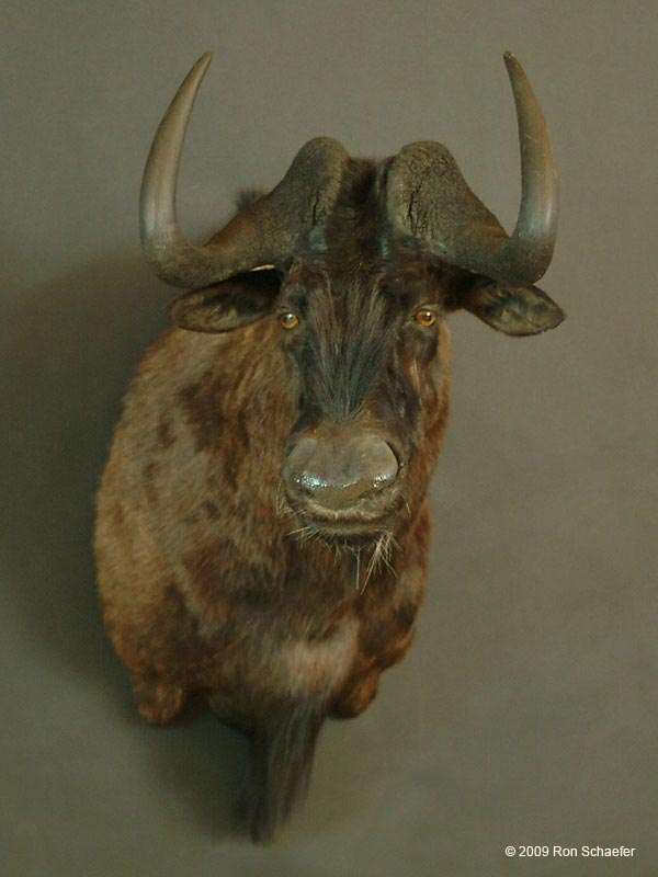 Big Game Taxidermy - African Shoulder Mounts Gallery